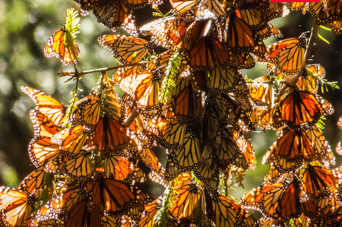 protect monarch butterflies - deforestation - avocado - mexican avocados - environmental protection - avocado deforestation - organic avocados - mexican avocados - monarch butterfly - butterfly migration