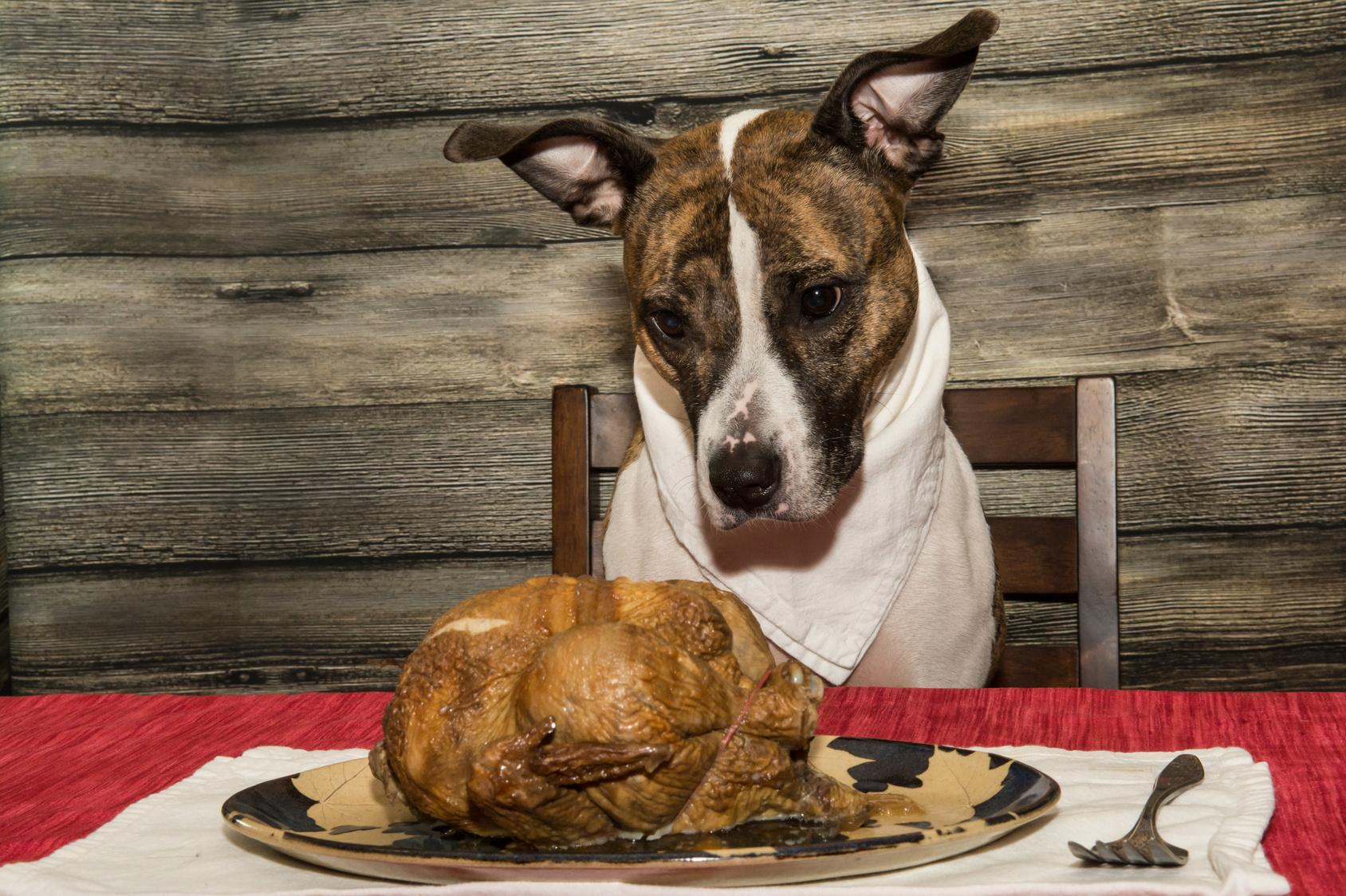 feeding your dog the holiday turkey - dog health - turkey - thanksgiving - holiday - holiday season - pets - dogs - an organic conversation - helge hellberg - education - inspiration - green living - green media