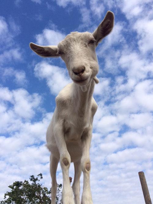 neglected farm animals - animal sanctuary - goat sanctuary - goatlandia - farm animals - saving animals - vegan - PETA - animal rescue - farm animal rescue