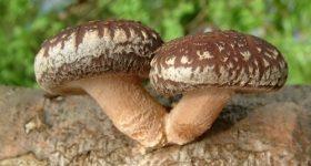 medicinal mushrooms - mushrooms health benefits - mushrooms for healing - nutritional value of mushrooms - nutritional benefits mushrooms